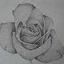 Rose by Guique