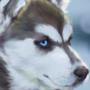 Husky - Study