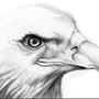 Spying Hawk by minimin12