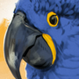 hyacinth macaw study