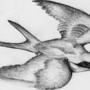 Sparrow Flight by XKFrazierPieCrust