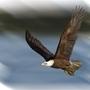Bald Eagle by jaymanimation