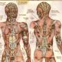 Anatomy 3: Muscles, Skin