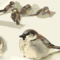 Backyard Sparrow Warmup