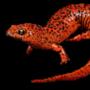 Save the Salamanders Fundraising