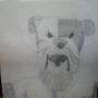 BasketBull Dog