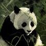 Panda by Sev4