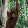 A Dirty Orangutan by CrazyCreators
