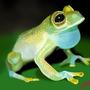 Frogstudy 1 by ChristofferN