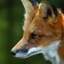 The fox (painting) by kitatsu
