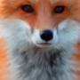 Fox by blochead