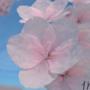 Sakura Blossom by AniMate