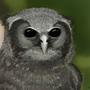 Verreaux Owl Study by Labyrinthus