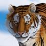 Tiger by Sev4
