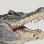 Gator study by LegionBrewer