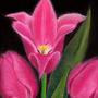 Tulips by kacenace