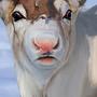 Reindeer head study by StevenX7