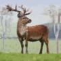 Confident Deer