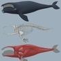 Whale anatomy study