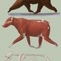 Bear anatomy study