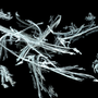 Frost-Dew Branches